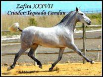 ZAFIRA XXXVII - GC Ecuestre